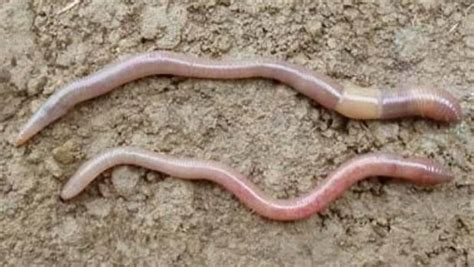 worms for garden all worms are not equal here s how to identify the ones