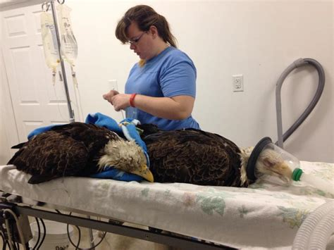 bald eagles allegedly poisoned  euthanized animals