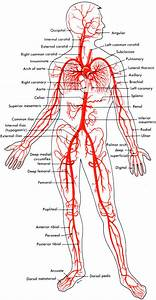Types Of Blood Vessels  Arteries  Veins  And Capillaries