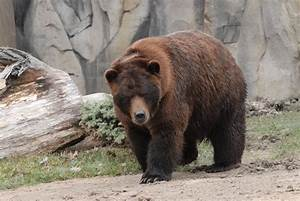 Grizzly Bears May Have Diet Lessons That Can Be Helpful