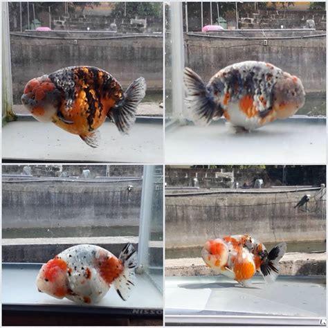ikan mas koki fancy goldfish home facebook