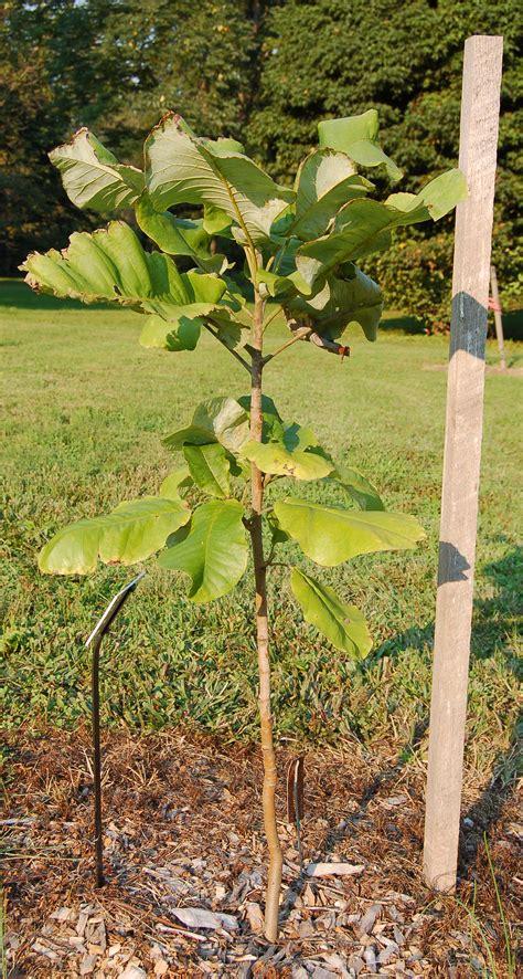 magnolia tree sapling magnolia macrophylla