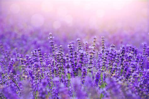 Bilder Mit Lavendel by Aloe Vera Lavender And Calendula Vine Vera