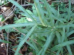 Fougère Pteris Cretica : flore du maghreb pteridophytes ~ Melissatoandfro.com Idées de Décoration