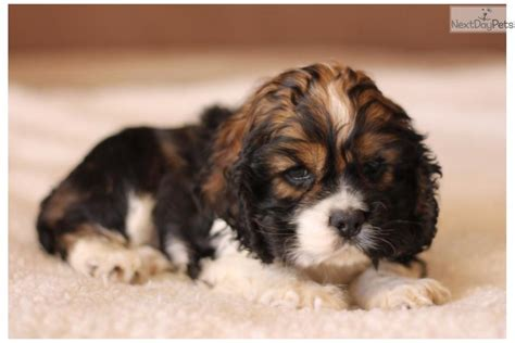 Bonus value puppy and a great value. Dogs and Puppies for Sale and Adoption | Oodle Marketplace