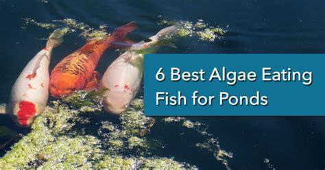 algae eating fish  ponds   nualgi