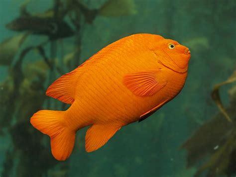 garibaldi kelp forest fishes hypsypops rubicundus