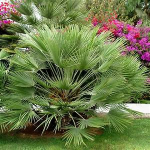 Plantes Et Jardin : palmier nain plantes et jardins ~ Melissatoandfro.com Idées de Décoration