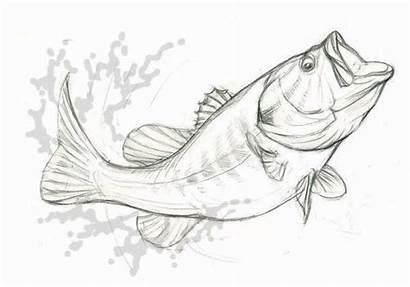 Bass Largemouth Drawing Behance Vector Fish Drawings