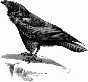 Raven | ClipArt ETC