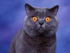 blue gray cat blue cat animals cats blue grey 1600x1200