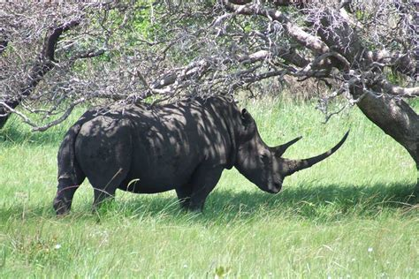 iconic rhino dubbed ms long horn killed  poachers