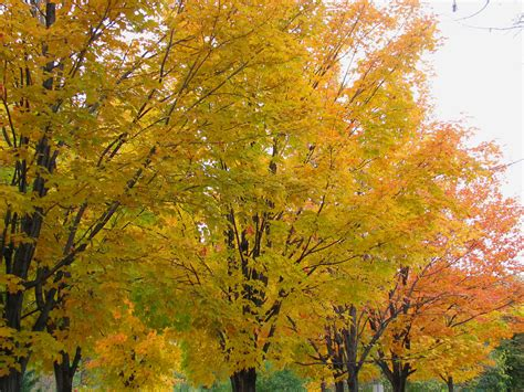 types maple trees file maples in fall colours dutchy s hole ottawa jpg wikimedia commons