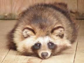 タヌキ:画像 : 可愛いタヌキの生態 - NAVER まとめ
