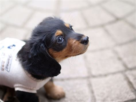 How Much Does A  Ee  Dachshund Ee   Cost Howmuchisit Org