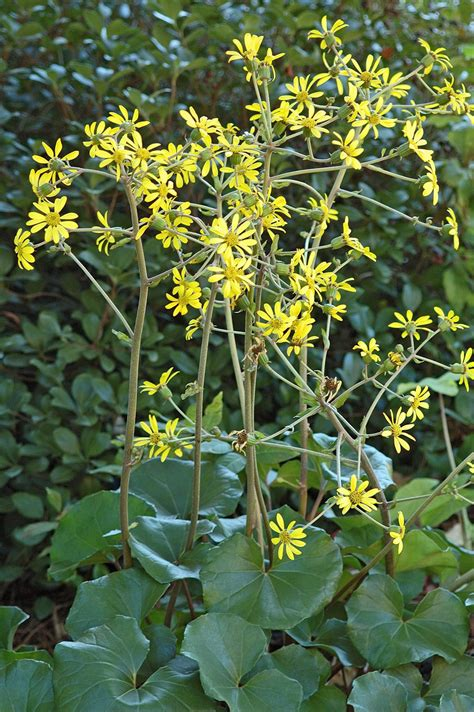 Leopard plant is made for the shade | Mississippi State ...
