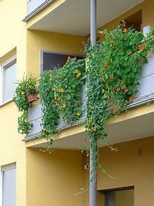 Kletterpflanzen Für Balkon : balkongr n mit tropaeolum balkonien ~ Buech-reservation.com Haus und Dekorationen