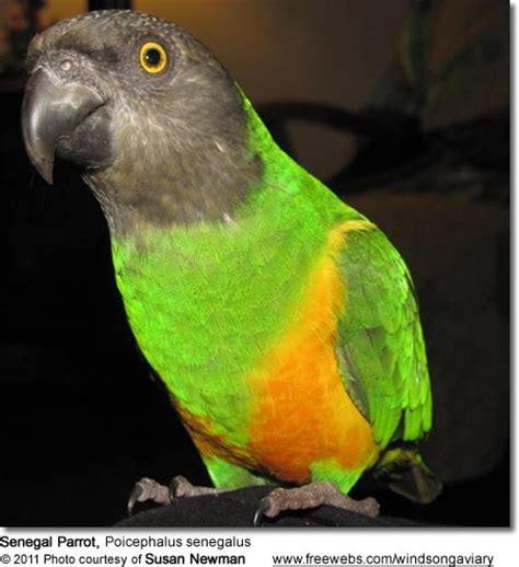 senegal parrot senegal parrot poicephalus senegalus birds pinterest