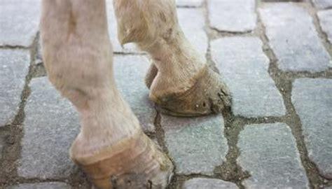 hurt  horses hoof  cleaning  animals