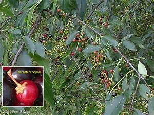 Prunus serotina (Black Cherry): Minnesota Wildflowers