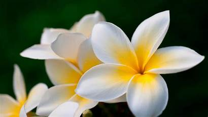 Plumeria 4k Flowers Yellow Wallpapers Background Hq