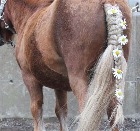 horse owners braid horses manes   reason