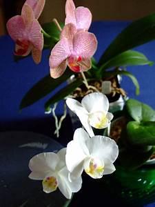 100 Novice Phalaenopsis Culture Sheet How Do I Care