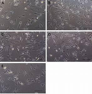 In Vitro Cell Morphology Comparison On Various Skeletal