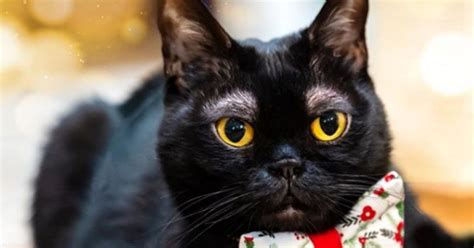 Mi gato maúlla cuando tiene hambre.my cat meows when he is hungry. Este es el gato con 'cejas' que se volvió viral en redes ...