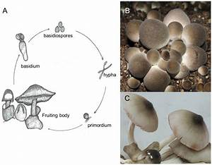 A  Basidiospores Of V  Volvacea Are In Tetrad And Attached