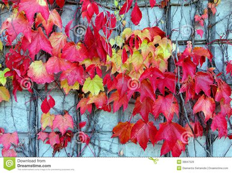 Red Ivy Creeper Leaves Stock Image Image Of Architecture
