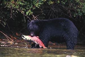 Black Bear Eats A Sockeye Salmon Photograph by Nick Norman