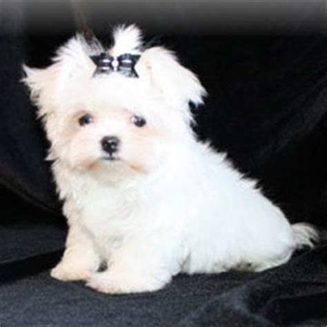 small non shedding dogs for seniors designer puppies morkies maltipoos maltipoos and more