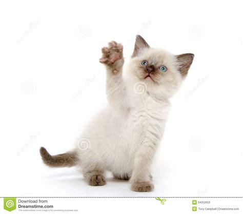 cute kitten playing  white stock  image
