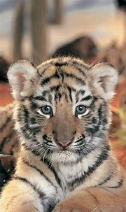 Gallery For > Baby Tiger Iphone Wallpaper | Animals, Cute ...