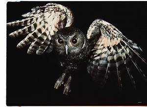 Eastern Screech Owl Flying In The Day Pictures to Pin on ...