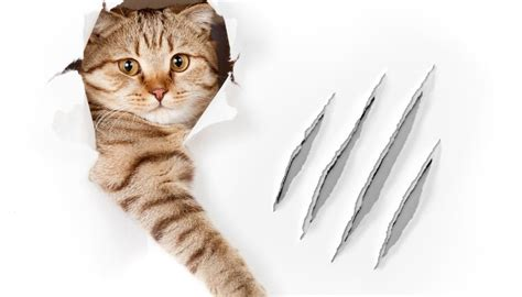 cat torn  claw treatment animals momme
