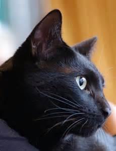 bombay cat bombay cat bombay cat photo 35941563 fanpop