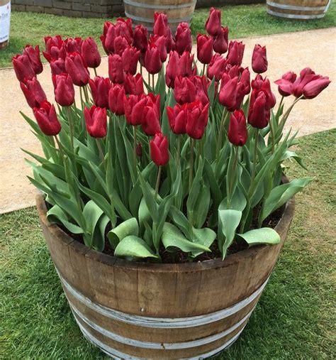 25 best ideas about tulips garden on flowers