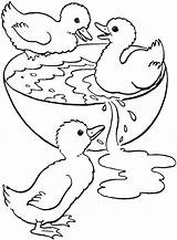 Coloring Swimming Duck Pages Duckling Bowl Ducklings Adult Printable Drawing Colouring Ducks Swim Three Sheets Easter Ugly Wood Animal Swimmer sketch template
