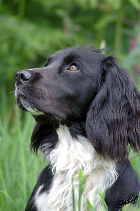 springer spaniel coat shedding 1000 images about springer spaniel dogs