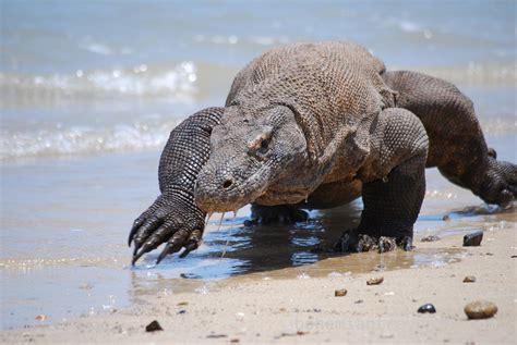 What you Need to know about the Komodo Dragon