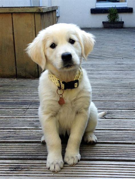 white golden retriever images  pinterest