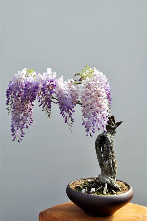 inilah aneka pohon bonsai  mengagumkan  jepang