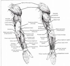 Female Arm Muscle Diagram