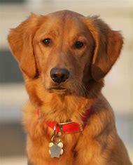 Red Golden Retriever Puppy