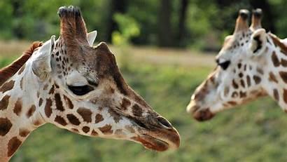 Giraffes Giraffe Animals Wallpapers Animal Head Wallpapersafari