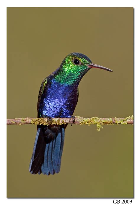violet bellied hummingbird