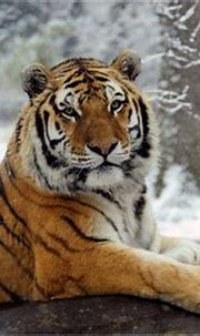 All the colors of the... Tiger? | HubPages