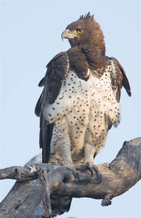 okavango delta martial eagle